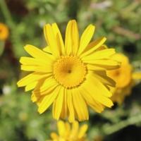 anthemis tinctorius seeds