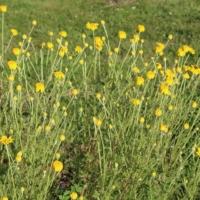 anthemis yellow chamomile seeds