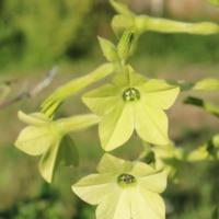lime green nicotiana alata tobacco seeds