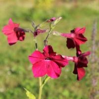 tobacco crimson bedder red seeds