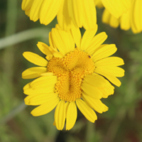 mutant chamomile flower