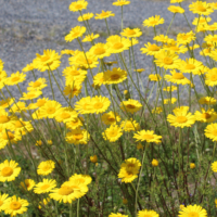 yellow chamomile wild form seeds