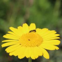 true wild yellow chamomile seeds