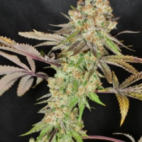anaphylaxis mmj seeds