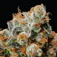 anaphylaxis cannabis seeds by mms