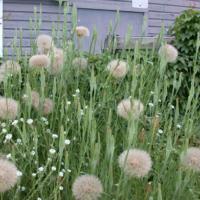 tragopogon dubius seeds