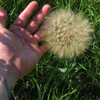 giant dandelions seeds