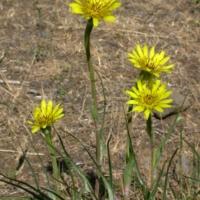 giant dandelion seeds