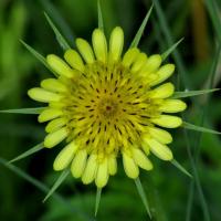 western salsify seeds