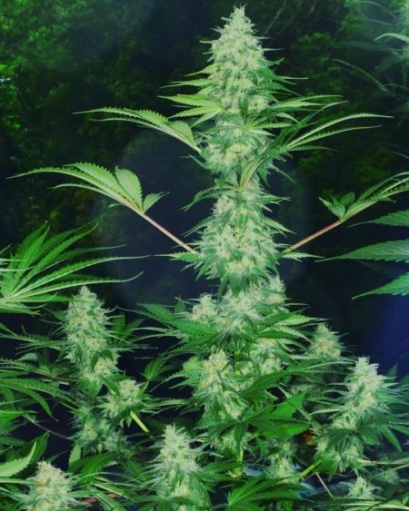 praying mantis marijuana