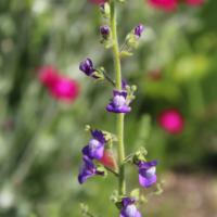 Antirrhinum nuttallianum seeds