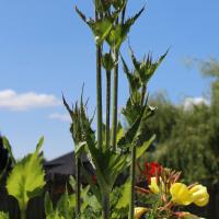 cutleaf teasel seeds