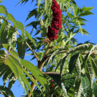 rhus velvet sumac seeds