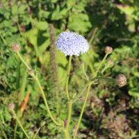 Trachymene coerulea seeds