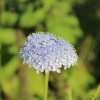 rottnest island daisy seeds