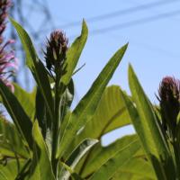giant purple lobelia seeds