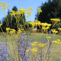 golden lace nagoya seeds