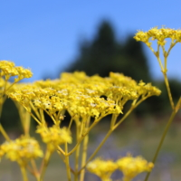 Patrinia scabiosifolia seeds