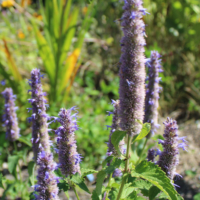 anise hyssop seeds blue