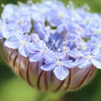 blue lace flower Didiscus Coeruleus seeds