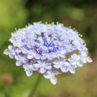 Trachymene coerulea blue lace flower seeds