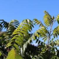 rhus staghorn sumac leaves