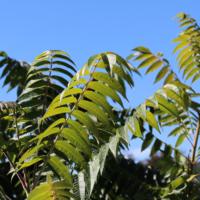 velvet sumac rhus seeds