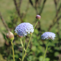 blue lace flower seeds