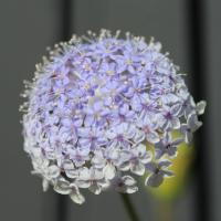 Didiscus Coeruleus flower seeds