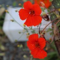 empress of india nasturtium seeds
