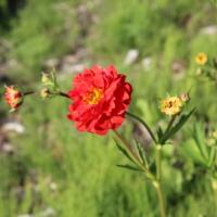 red geum seeds