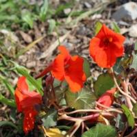 nasturtium empress of india seeds