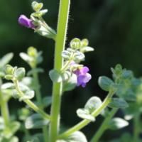 Nuttalls Snapdragon seeds