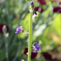 violet snapdragon seeds