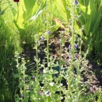 nuttalls antirrhinum seeds