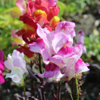 snapdragon with purple leaves