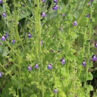 violet snapdragon plant seeds