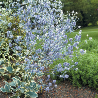 variegated sea holly jade frost seeds