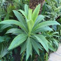 giant purple lobelia plant