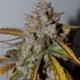 mango smile autoflower seeds mephisto