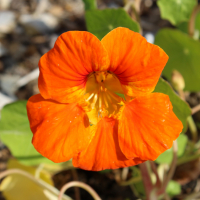 nasturtium orange gleam seeds