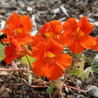 orange gleam nasturtium flowers