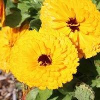 calendula pot marigold flower seeds
