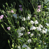 european pink and munstead white columbine