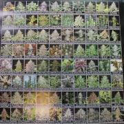mass medical strains 100 marijuana strains poster