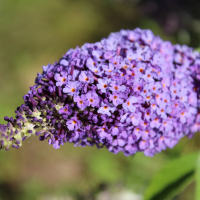 sky blue buddelja davidii hybrid seeds