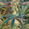 halo mmj seeds