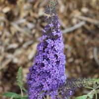 buzz sky blue buddleja plant