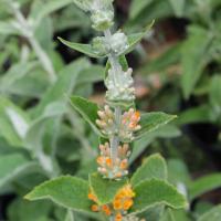 buddleja stachyoides seeds
