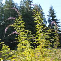buddleia lindleyana weeping butterfly bush seeds